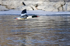 Common Merganser Flying Over the Frozen Winter River. Common Merganser Flying Over the Cold and Frozen Winter River Stock Photos