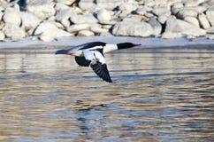 Common Merganser Flying Over the Frozen Winter River. Common Merganser Flying Over the Cold Frozen Winter River Royalty Free Stock Photos