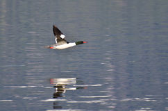 Common Merganser Flying Over the Water. Male Common Merganser Flying Over the Water Royalty Free Stock Photography