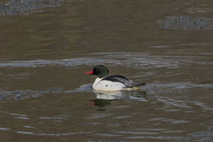 Common Merganser male Stock Images