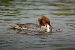 Common Merganser, Mergus merganser, water bird with catch fish, Royalty Free Stock Photo