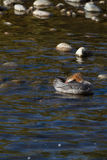 Common Merganser, Mergus merganser Stock Photo