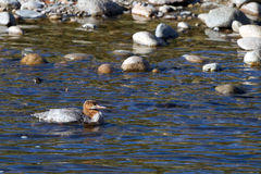 Common Merganser, Mergus merganser Royalty Free Stock Photo