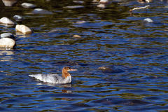 Common Merganser, Mergus merganser Royalty Free Stock Images