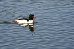 Common Merganser Swimming on the Blue Pond Stock Images