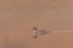 Common Merganser Swimming in Fog Royalty Free Stock Photography