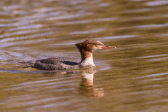 Common Merganser Stock Images