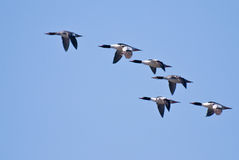 Common Mergansers Flying Across Blue Sky Stock Photos