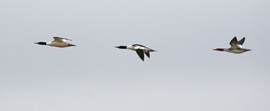Common Mergansers Inflight Stock Images