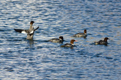 Common Mergansers Swimming in the Lake Stock Photo