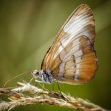Common mestra. Butterfly in a field of long grass Stock Photo