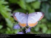 Common Mestra (Nymphalidae, Mestra amymone) Stock Images