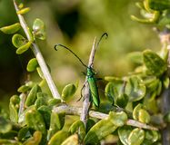 Common Metallic Longhorn. A Common metallic Longhorn Beetle in a bush in Southern Africa royalty free stock photos