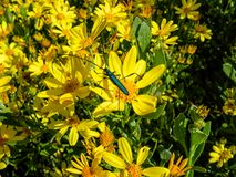 Common Metallic Longhorn. A Common Metallic Longhorn Beetle on yellow flowers in Southern Africa stock photo