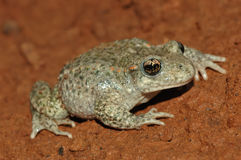 Common midwife toad (Alytes obstetricans) Stock Images