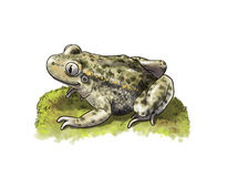 Common Midwife Toad Royalty Free Stock Images