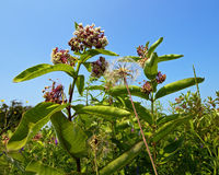 Common mikweed in a field. Common milkweed (Asclepias syriaca) in a sunny meadow. Milkweed is an important feed plant for the monarch butterfly. The larva of the royalty free stock photography
