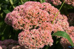 Common Milkweed – Asclepias syriaca. Common milkweed is the most abundant milkweed. Common milkweed is commonly seen along the Blue Ridge Parkway in Virginia Stock Photography
