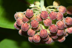 Common Milkweed. In the spring before the flowers opened up stock photo