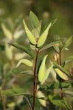 Common Milkweed royalty free stock photo