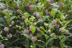 Common milkweed flowers. Common milkweed Asclepias syriaca. Known also as Butterfly Flower, Silkweed, Silky Swallow-wort and Virginia Silkweed royalty free stock image