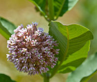 Common Milkweed. Closeup of Common Milkweed flowers (Asclepias syriaca royalty free stock photos