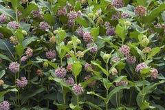 Free Common Milkweed Flowers. Royalty Free Stock Image - 118501276