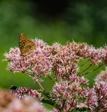 Common Milkweed and a Great Spangled Fritillary Butterfly. A great spangled fritillary butterfly feeding on common milkweed wildflower in a mountain meadow royalty free stock photography