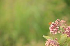Common milkweed Stock Photos