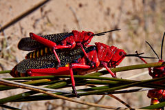 Common milkweed locust Royalty Free Stock Photography