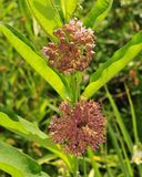 Flowers and leaves of common milkweed. A common milkweed plant Asclepias syriaca with two pink flower clusters in different stages of maturity stock images