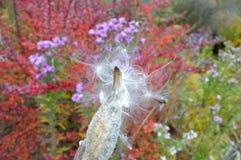 Common milkweed seed pod - follicle Royalty Free Stock Photos
