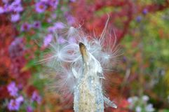 Common milkweed seed pod - follicle Royalty Free Stock Images