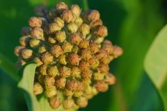 Common milkweed Stock Photography