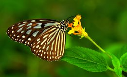 Common Mime butterfly Royalty Free Stock Photo