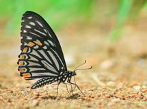 Common Mime butterfly et mineral in sand royalty free stock image