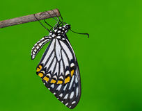 Common mime butterfly resting after emerged Stock Photos