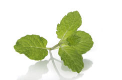 Common Mint Stock Image