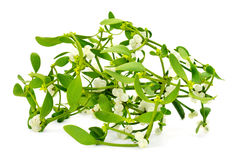 Common mistletoe Royalty Free Stock Photography