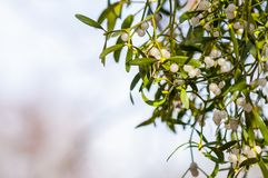 Common mistletoe Viscum album, species of mistletoe, family Santalaceae, European mistletoe or mistletoe. On a tree royalty free stock photo