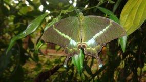 Common mit einem Band versehener Pfau-Schmetterling Lizenzfreies Stockbild