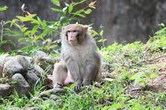 Common monkey Royalty Free Stock Images