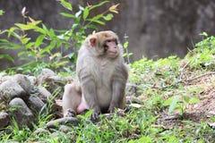 Common monkey Royalty Free Stock Photo