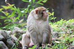 Common monkey Stock Photography