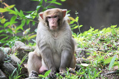 Common monkey Stock Images