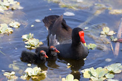 Common Moor Hen feeding chicks at Green Cay Wetland Florida Stock Images