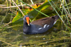 Common Moor Hen at Green Cay Wetland Florida Stock Images