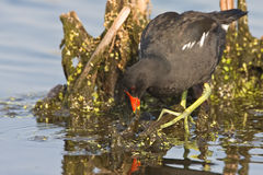 Common Moorhen Stock Photo