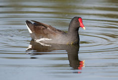 Free Common Moorhen Stock Photo - 13379910