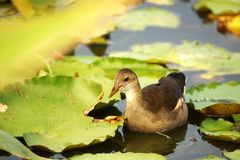 Common Moorhen Royalty Free Stock Photos